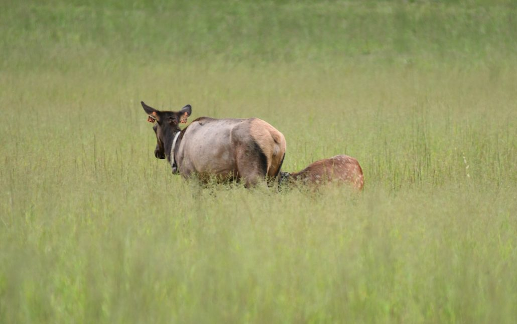 A Young Elk Calf Feeds in Cataloochee Valley